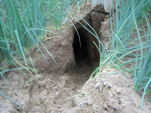 おしゃれねぎの畑に大きな穴が・・・